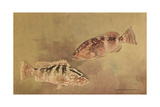 Painting of Two Grouper Fish Giclee Print by Hashime Murayama