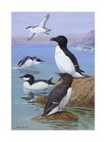 A Painting of Razor-Billed Auks and Murres Impression giclée par Allan Brooks
