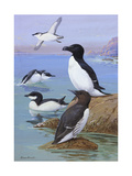 A Painting of Razor-Billed Auks and Murres Giclee Print by Allan Brooks