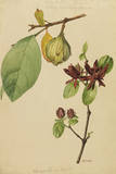 This Shrub Is a Member of the Calycanthus Family Giclee Print by Mary E. Eaton