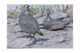 A Painting of a Scaled Quail and a Chestnut-Bellied Scaled Quail Giclee Print by Louis Agassi Fuertes