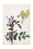 A Painting of Hollyleaved Barberry and its Fruit and Blossoms Giclee Print by Mary E. Eaton
