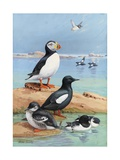 A Painting of an Atlantic Puffin, Black Guillemots, and Dovekies Giclee Print by Allan Brooks