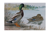 A Painting of a Male and a Female Mallard Giclee Print by Louis Agassi Fuertes