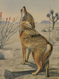 A Painting of a Howling Arizona, or Mearns, Coyote Giclee Print by Louis Agassi Fuertes