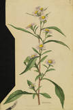 This Plant Is a Member of the Aster Family Giclee Print by Mary E. Eaton