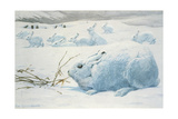 Painting of an Arctic Hare Giclee Print by Louis Agassi Fuertes