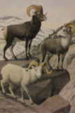 A Painting of a Stone'S, Fannin's and Dall's Mountain Sheep Giclee Print by Louis Agassi Fuertes