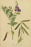 This Plant Is a Member of the Pea Family Giclee Print by Mary E. Eaton