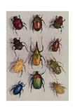 A Group of Scarabs from the Scarabaeid Family Lámina fotográfica por Wisherd, Edwin L.