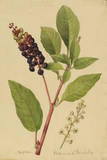 This Shrub Is a Member of the Pokeweed Family Giclee Print by Mary E. Eaton