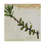 A Sprig of Southern Bayberry Shrub Blossoms Giclee Print by Mary E. Eaton