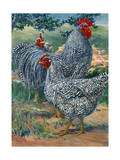 A View of Barred Plymouth Rock Chickens, One of the Seven Varieties Giclée-tryk af Hashime Murayama