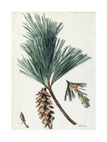 A Sprig of Eastern White Pine and its Cone Giclee Print by Mary E. Eaton