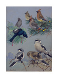 Painting of Songbirds Including Shrikes, Waxwings, and Phainopeplas Impression giclée par Allan Brooks