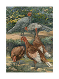 A Painting of Slate and Bourbon Red Turkeys Giclee Print by Hashime Murayama