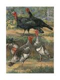A Painting of Two Black Turkeys and Three Narragansett Turkeys Giclee Print by Hashime Murayama
