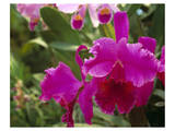 Orchid, Costa Rica Posters