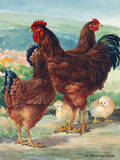 A View of Rhode Island Red Chickens with their Young Giclee Print by Hashime Murayama