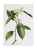 A Painting of a Sprig of the Sweet Orange Blossom Plant Giclee Print by Mary E. Eaton