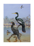 A Painting of a Water Turkey, Mexican Cormorant and a Mexican Grebe Giclee Print by Allan Brooks