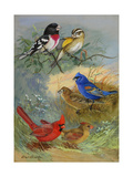 A Painting of Grosbeaks and Cardinals Giclee Print by Allan Brooks