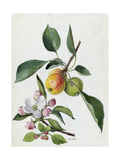 A Sprig of a Paradise Apple Tree, its Blossom and Fruit Giclee Print by Mary E. Eaton