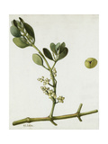 A Sprig of Oak Mistletoe and its Berries Giclee Print by Mary E. Eaton