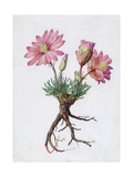 A Painting of the Bitterroot Plant and its Blossoms Giclee Print by Mary E. Eaton