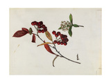 A Sprig of Red Chokeberry Shrub Berries and Blossoms Giclee Print by Mary E. Eaton