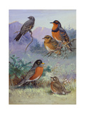 A Painting of Several Species of Robin Impression giclée par Allan Brooks