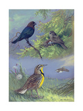 Painting of an Eastern Cowbird Pair and Eastern Meadowlarks Giclee Print by Allan Brooks