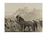 Feral Horses Left by a German Antarctic Expedition on Cumberland Bay Photographic Print by Robert Cushman Murphy