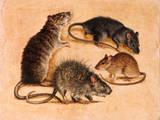A Painting of Four Rat Species Giclée-tryk af William H. Bond