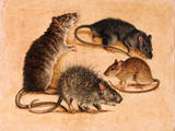 A Painting of Four Rat Species Giclee Print by William H. Bond