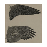 An Image of the Wings of a Falcon (Top) and a Goshawk Hawk (Lower) Giclée-tryk af Louis Agassi Fuertes