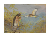 A Painting of Two Broad-Winged Hawks Giclee Print by Allan Brooks
