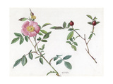 A Painting of a Sprig of a Carolina Rose and its Blossom Giclee Print by Mary E. Eaton