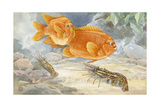 A Pair of Garibaldi Fish Swim Above Prawns on the Ocean Floor Giclee Print by Hashime Murayama