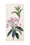A Branch Sprig and Blossom from a Mountain Laurel Shrub Giclée-tryk af Mary E. Eaton