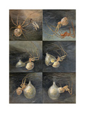 Painting of Several Spiders, Theridion Tepidariorum, at Work Giclee Print by Hashime Murayama
