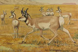 Painting of a Herd of Pronghorn, or American Antelope Giclee Print by Louis Agassi Fuertes