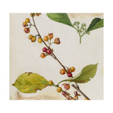 A Sprig of American Bittersweet Vine Blossoms and Berries Giclee Print by Mary E. Eaton