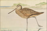 A Painting of a Marbled Godwit, Limosa Fedoa Giclée-tryk af Louis Agassi Fuertes
