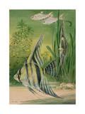 The Pristella Fish and Angelfish Swim Together in an Aquarium Giclee Print by Hashime Murayama