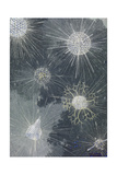 A Variety of Zooplankton Giclée-tryk af William H. Crowder