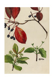 A Sprig of Blackgum Tree Blossoms and Berries Giclée-tryk af Mary E. Eaton
