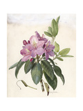 A Painting of a Sprig of Eastern Pasqueflower and its Blossom Giclee Print by Mary E. Eaton