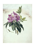 Mountain American Rhododendron Giclee Print by Mary E. Eaton