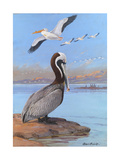 A Painting of Two Different Species of Pelican Giclee Print by Allan Brooks